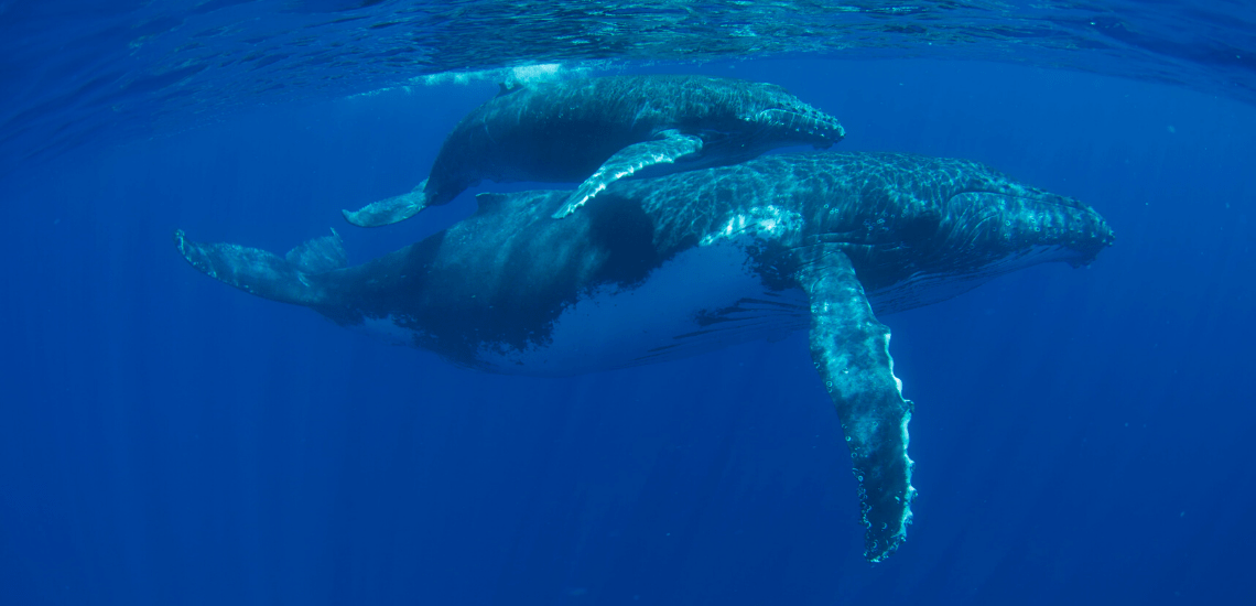 https://tahititourisme.mx/wp-content/uploads/2018/03/mooreaactivitiescenterwhaleswatching_1140x550-min.png