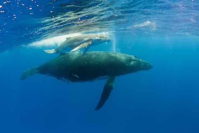 https://tahititourisme.mx/wp-content/uploads/2019/04/Bora-Bora-Humpback-Whales.jpeg