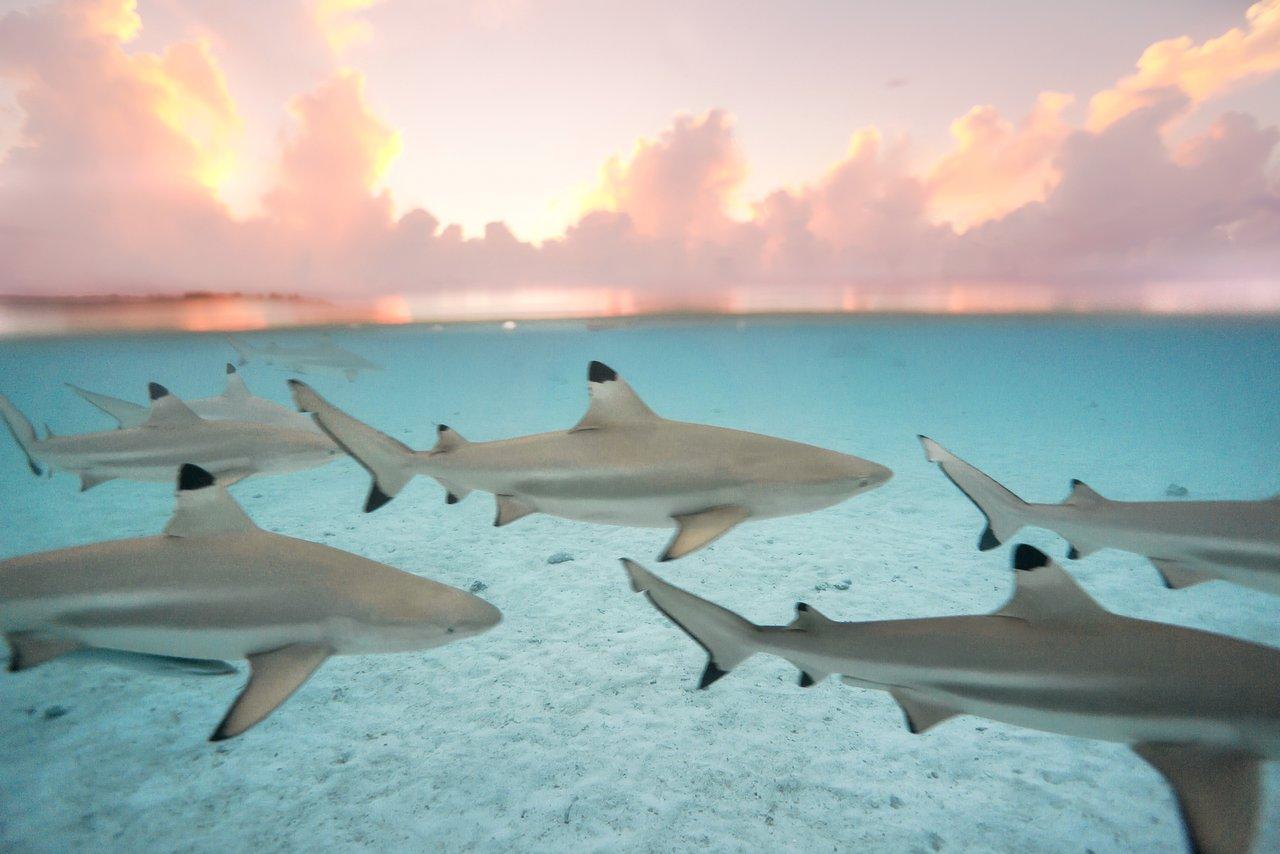 https://tahititourisme.mx/wp-content/uploads/2020/06/blacktip-reef-shark-sunset.jpg