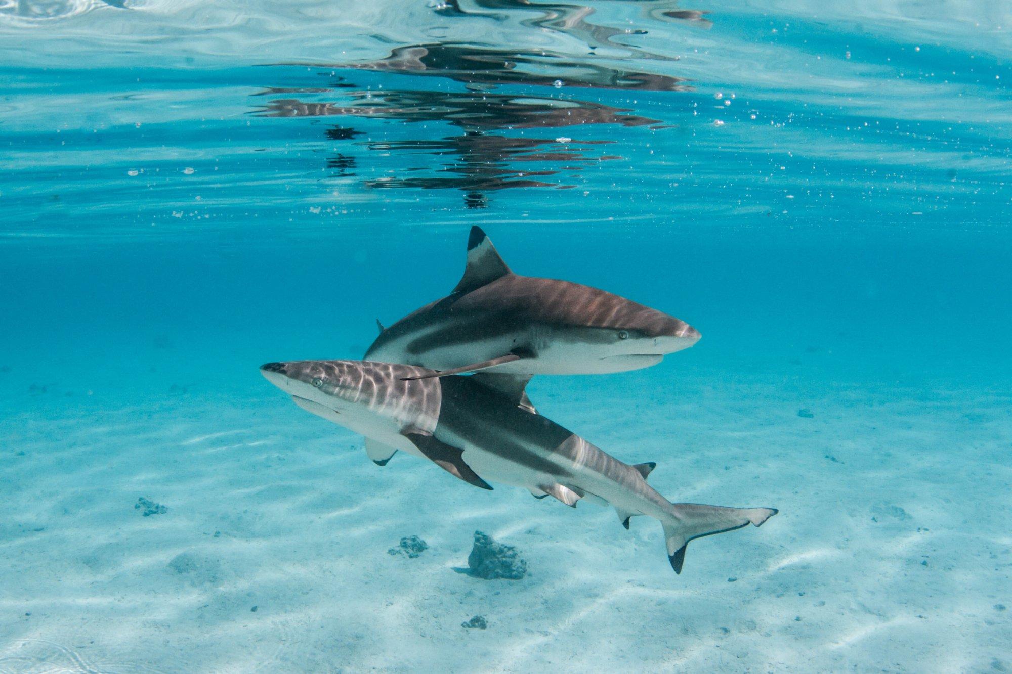 https://tahititourisme.mx/wp-content/uploads/2020/06/deux-magnifiques-requins.jpg